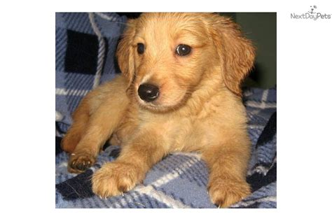 golden retriever puppies for sale in illinois ready for adoption siberian husky golden retriever