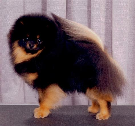 brown and black pomeranian black and pomeranian