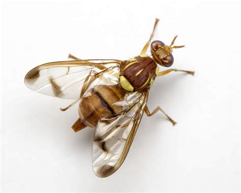 fruit fly the world s best photos of bactrocera and tephritidae