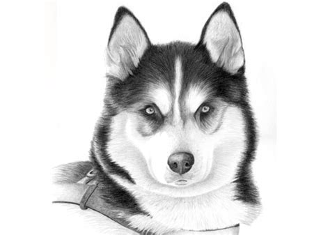 husky puppy drawing husky drawings in pencil