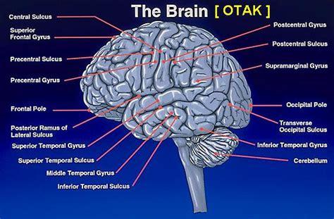 otak manusia dan bagiannya anatomi otak warna warni
