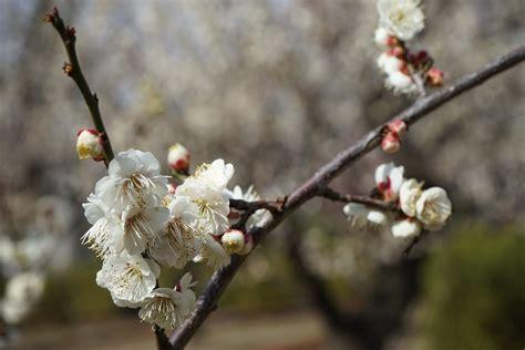 fiori di prugno foto gratis fiori di prugno fiori primavera immagine