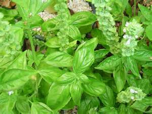 Bountiful Basil   Forest Garden