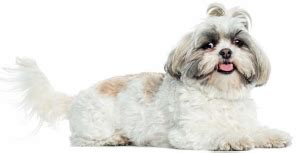shih tzu fussy eater fuss trating eaters ask the experts pets magazine