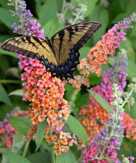 attracting butterflies and hummingbirds to your backyard 100 attracting butterflies and hummingbirds to your