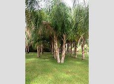 Hathaway's Tree Farm & Landscaping   plantANT.com Glossy Privet Tree