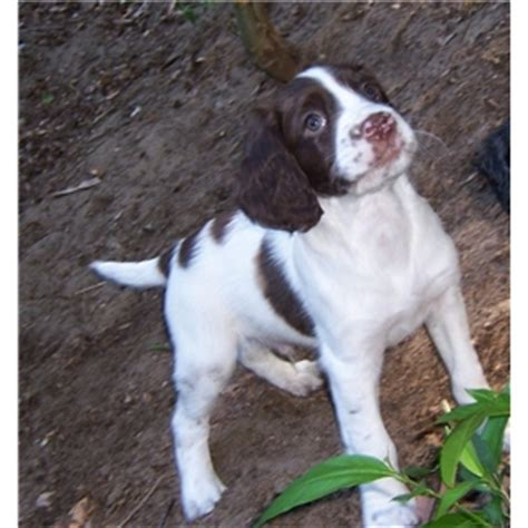 spaniel puppies michigan akc field bred springer spaniel puppies michigan ad 72839