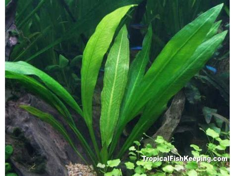 amazon sword amazon sword echinodorus bleherae profile