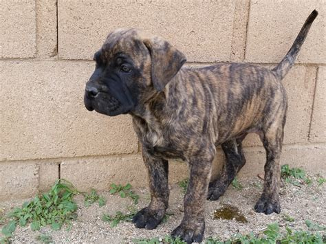 presa canario puppies for sale in presa canario puppy reserve socal presa canario