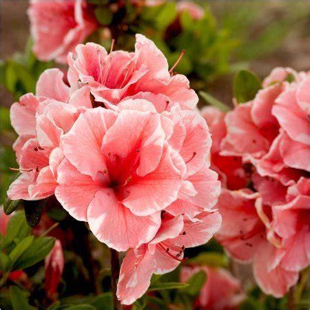 Pupuk Kalsium Cantik ternyata bunga bunga cantik ini bisa dikonsumsi layaknya