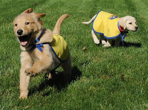 how many puppies can a lab ruff their heads service pups need homes ny daily news