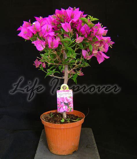 Best Patio Plants by Bougainvillea Purple Flower Hoop Tree In Pot Climbing