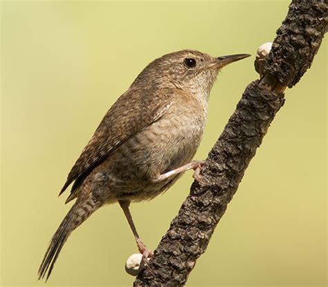 photograph of house wren