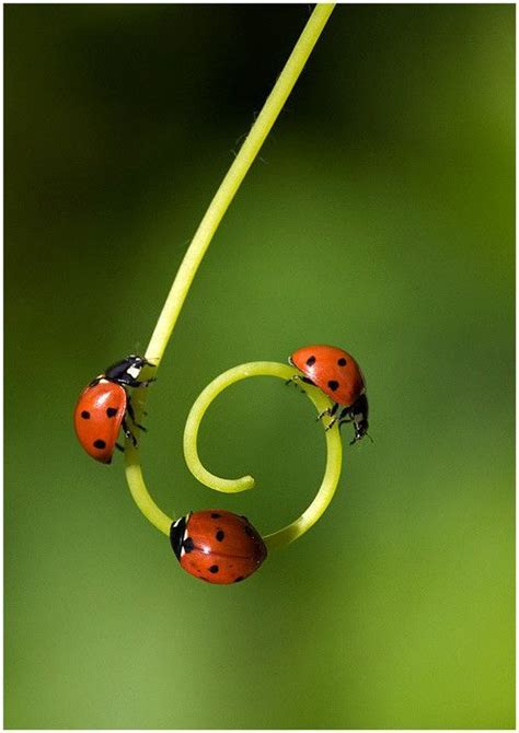 where to find ladybugs in your backyard 17 best ideas about beetle insect on pinterest red black