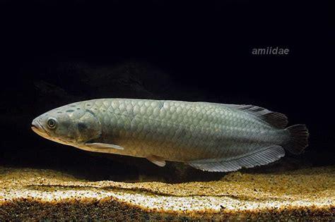 Anakan Arwana Platinum Jenis Dan Harga Ikan Arwana Binatang Peliharaan