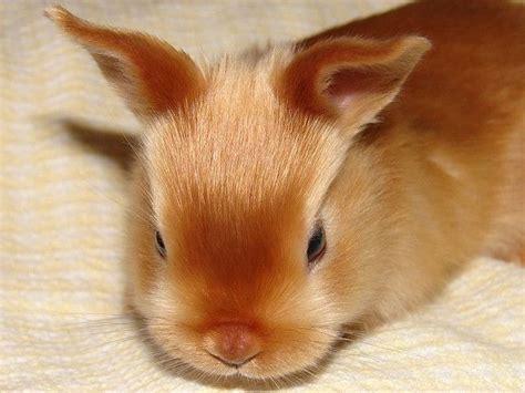 Blus Delena Jumbo baby mini satin rabbit pets and adorable animals