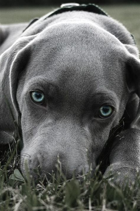 silver puppy best 20 silver labs ideas on