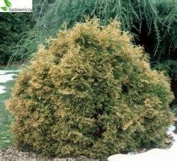 wann thujen setzen abendl 228 ndischer lebensbaum thuja occidentalis teddy