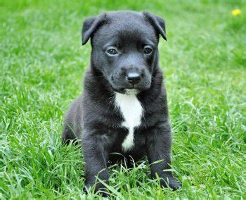 selling puppies laws tougher licensing welcomed vet times