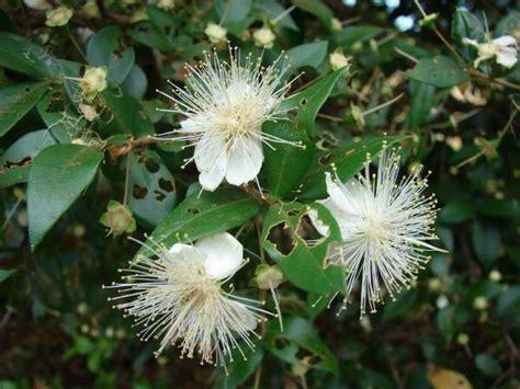 myrtle plant myrtus communis l myrtle