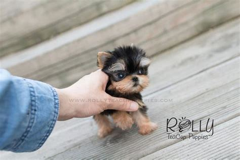 rolly teacup puppies reviews ella yorkie rolly teacup puppies
