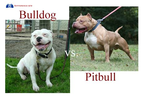 what is difference between american bulldog and pitbull