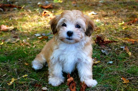 what is a havanese puppy heidi our havanese puppy flickr photo