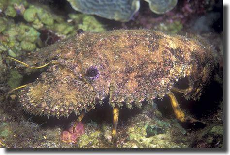 sculptured slipper lobster the vibrant sea sculptured slipper lobster