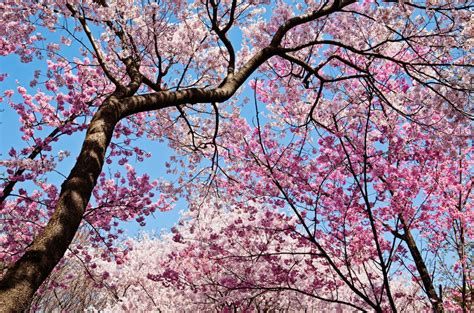 blossom trees 10 strange myths that came out to be true and we aren t