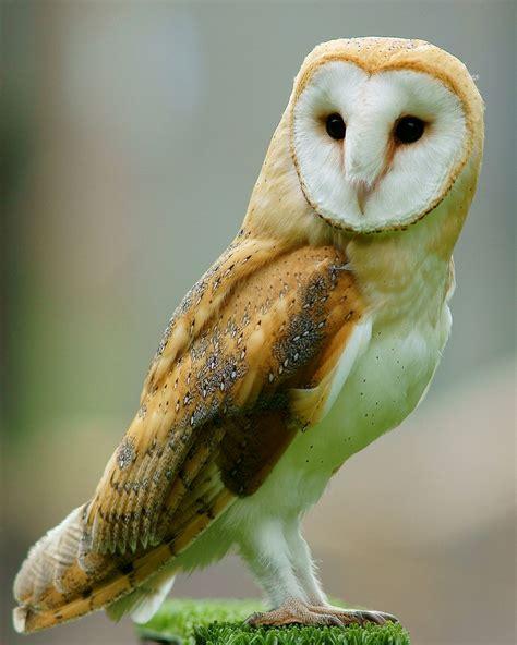 Owl In barn owl