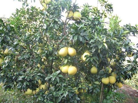 Bibit Jeruk Pamelo Thailand jeruk besar dan manis pakai limbah bebeja