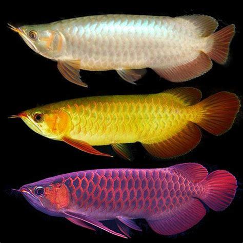 Pasaran Bibit Ikan Arwana akuarium unik cara membedakan arwana banjar golden