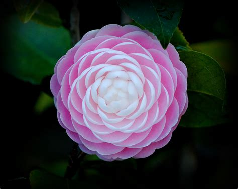 pink perfection camellia trish hartmann flickr