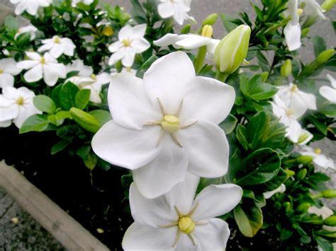 gardenia flower australian rubiaceae