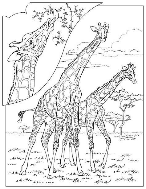 giraffe habitat coloring page giraffe coloring pages coloringpages1001 com