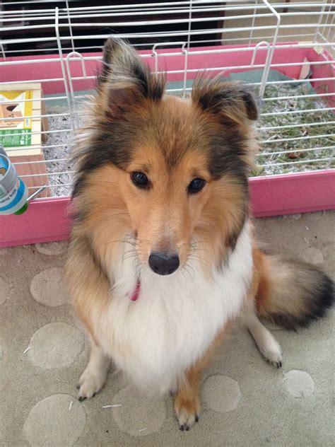 sheltie puppies for adoption sheltie for adoption cambridge cambridgeshire pets4homes