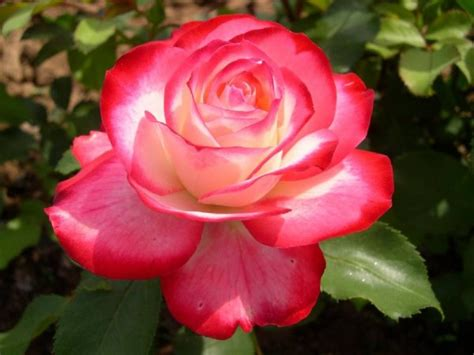 Beautiful Day: My Favourite Scent Fire And Ice Roses