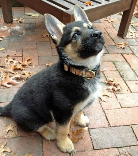 adopt a german shepherd puppy i would adopt a german shepherd puppy in a heartbeat