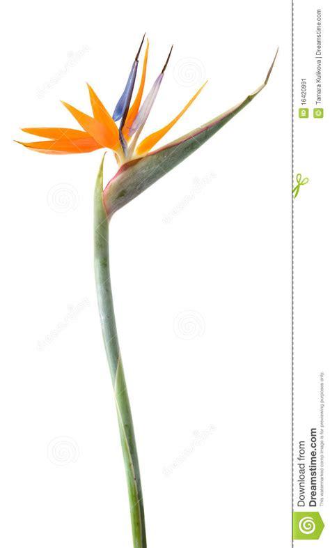 fiore uccello paradiso uccello fiore di paradiso immagine stock immagine