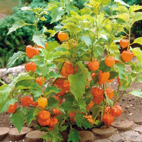 Flower Pot Sale by Australian Seed Physalis Peruviana