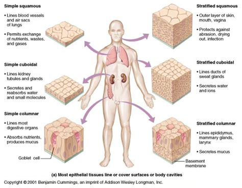 human tissue diagram human tissue glands can be single epithelial cells such