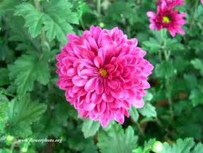 mums flowers pink flower photos