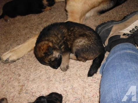 german shepherd puppies for sale in idaho wolf german shepherd puppies for sale in bliss idaho classified americanlisted