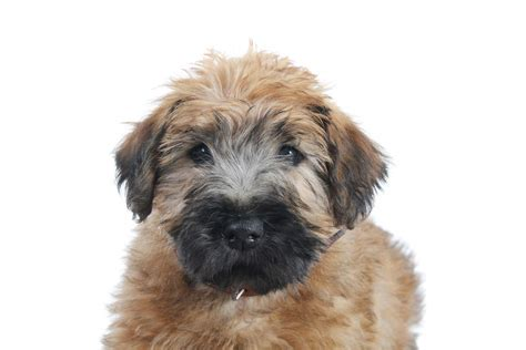history of large yorkshire terriers with floppy ears soft coated wheaten terrier dogs breed information omlet