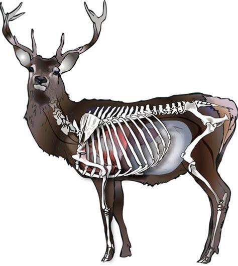 Mule Deer Anatomy