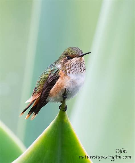 1000 images about hummingbirds on pinterest hummingbird