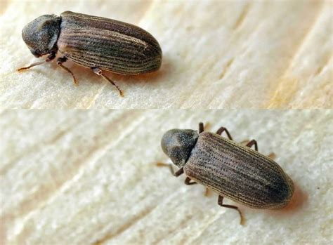 How To Treat Borer In Furniture by Furniture Beetle Treatment West Midlands Furniture