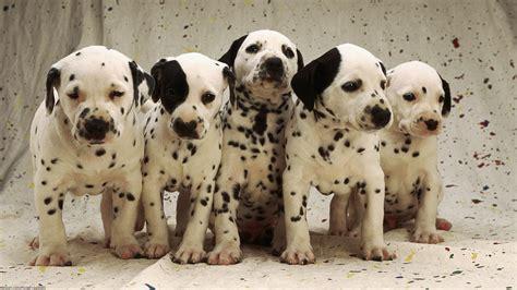 baby dalmatian puppies baby dalmatians desktop background hd 1920x1080 deskbg