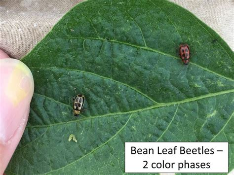 uncategorized extension entomology soybean update defoliators pod and bean feeders