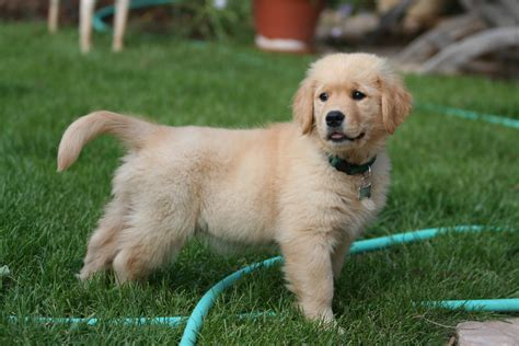 golden retriever puppis file golden retriever puppy standing jpg